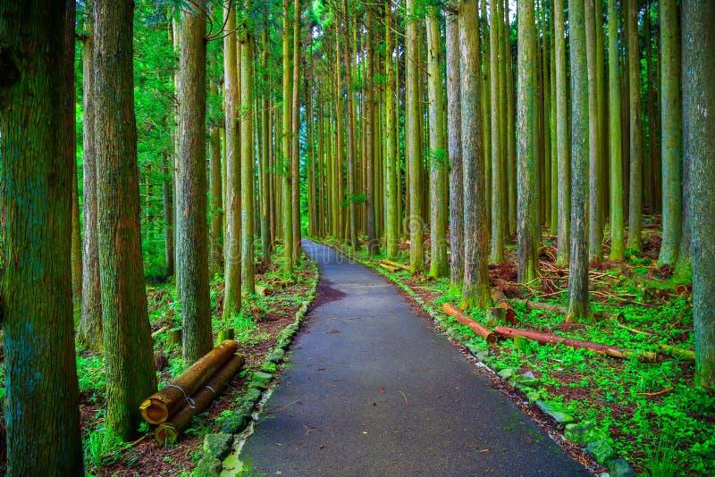 Pine forest in lake tanuki at fujinomoya , japan. Pine forest in lake tanuki at fujinomoya in japan stock images