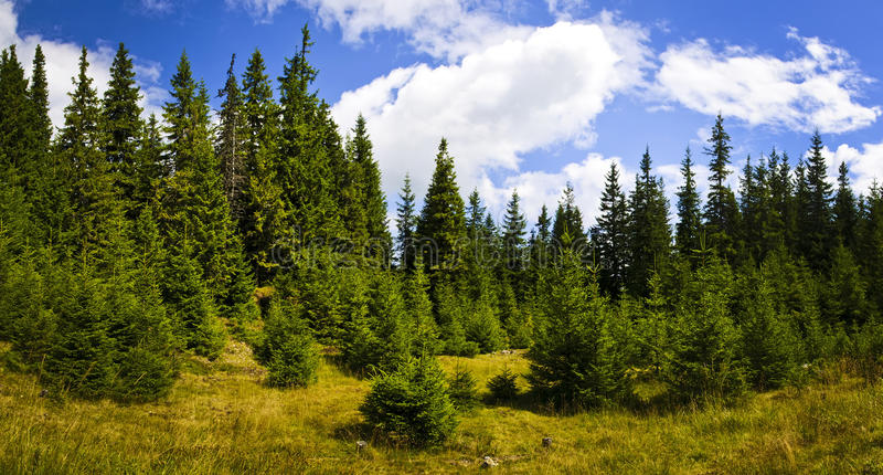 Pine forest landscape. Panorama landscape with pine forest in Transylvania, Romania stock photo