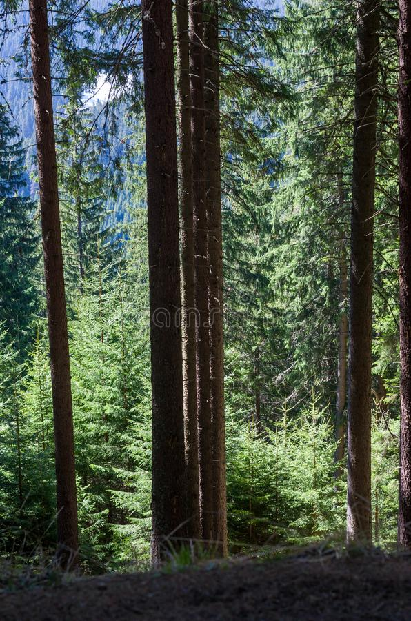 Beautiful Pine forest royalty free stock photo