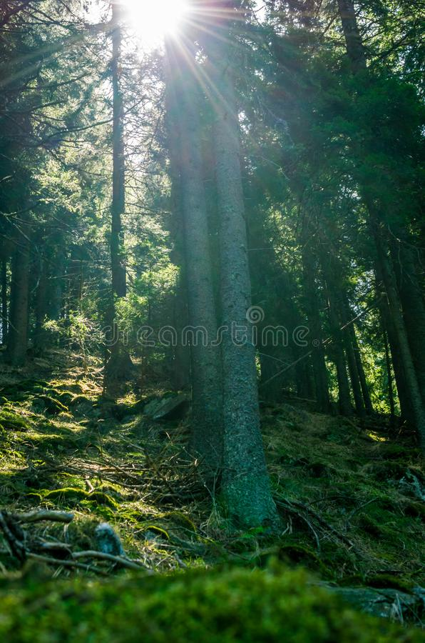 Misty Tall Pine forest scenery stock photography