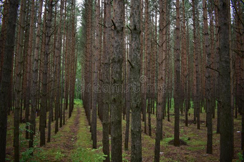 Pine forest is the lightest of all types of forests. This is not just a certain number of trees occupying a certain area. According to scientific terminology royalty free stock images