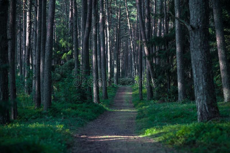 Pine Forest in Lithuania with Morning Sunrise Light on the Trunks and Path.  stock photos