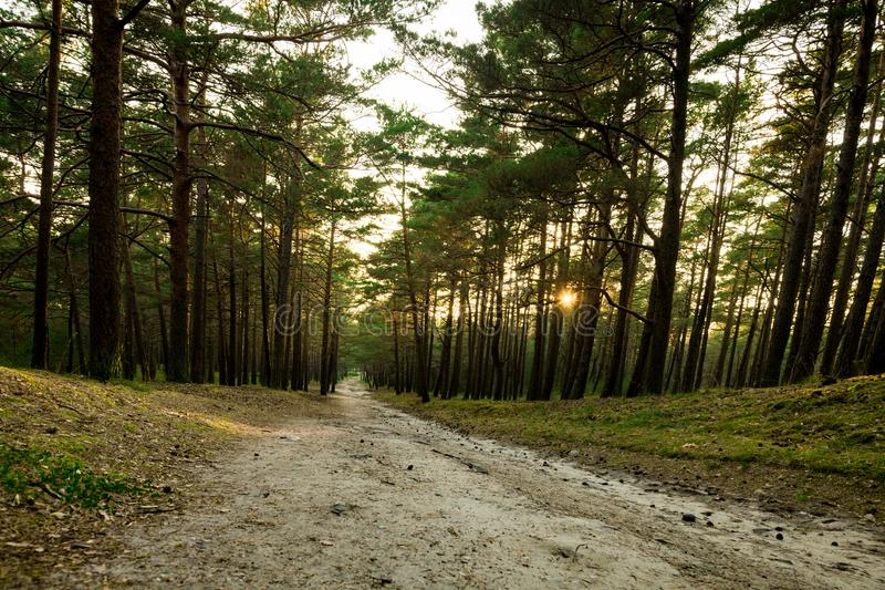 Pine Forest in Lithuania with Path and Sunset light in Background.  royalty free stock photos