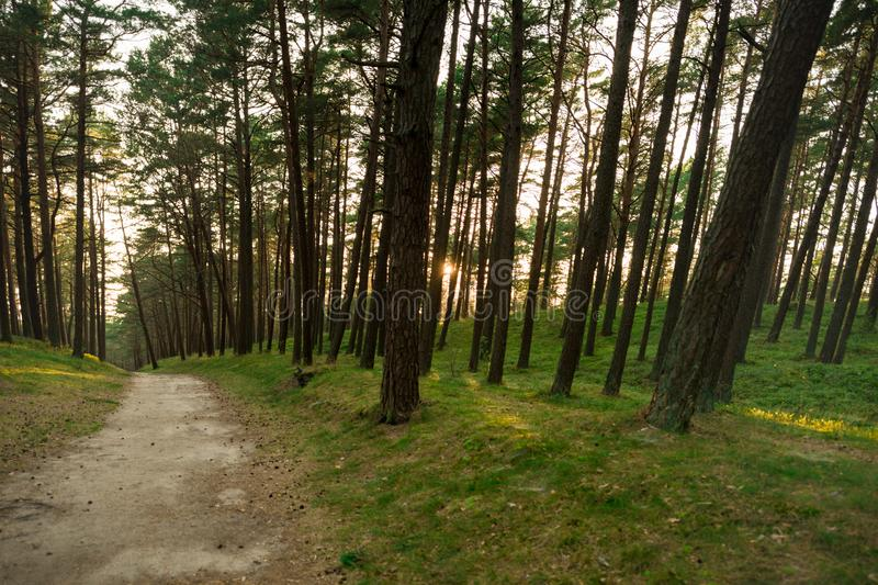 Pine Forest in Lithuania with Path and Sunset light in Background.  stock images