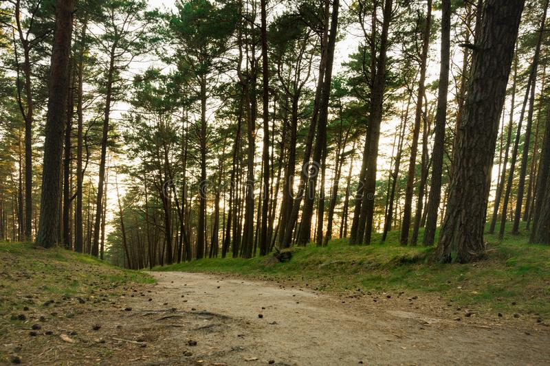 Pine Forest in Lithuania with Path and Sunset light in Background.  stock photos