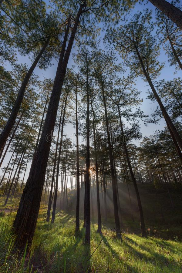 In the pine forest with magic of the sunlight, sunrays and green grass at sunrise part 3 royalty free stock photos