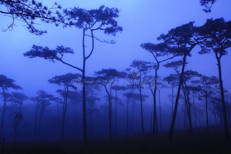 Pine Forest in the Morning stock image. Image of wildlife ...