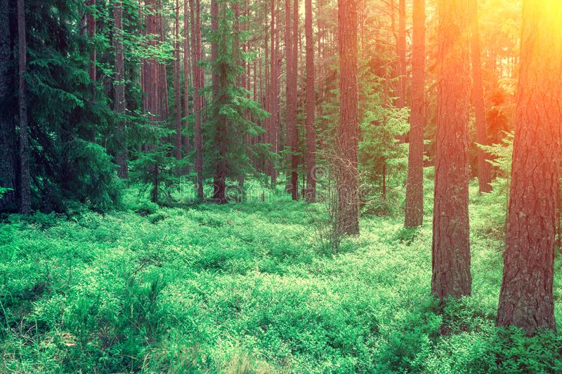 Pine forest in the morning royalty free stock images
