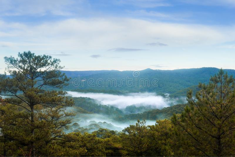Pine forest in the morning stock images