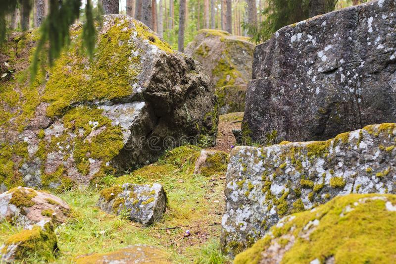 Pine forest with moss covered rocks. royalty free stock image