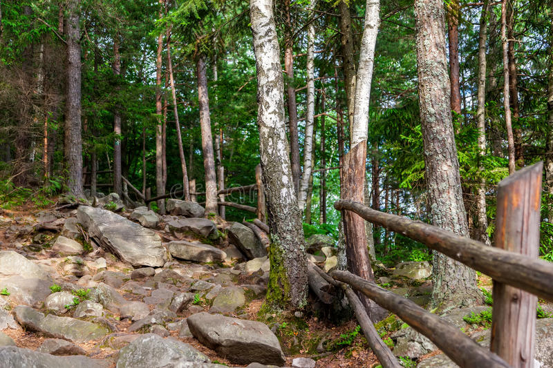 Pine forest. On a mountain slope in Carpathian Mountains royalty free stock photo