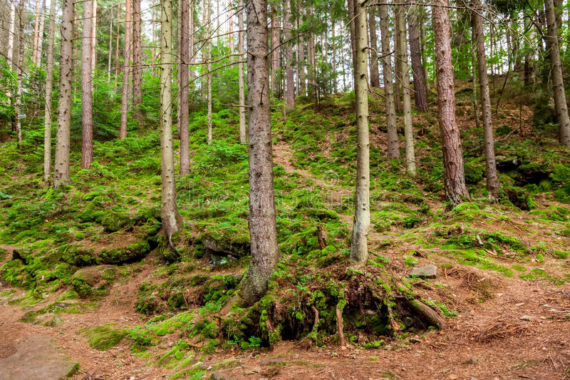 Pine forest. On a mountain slope in Carpathian Mountains stock photography