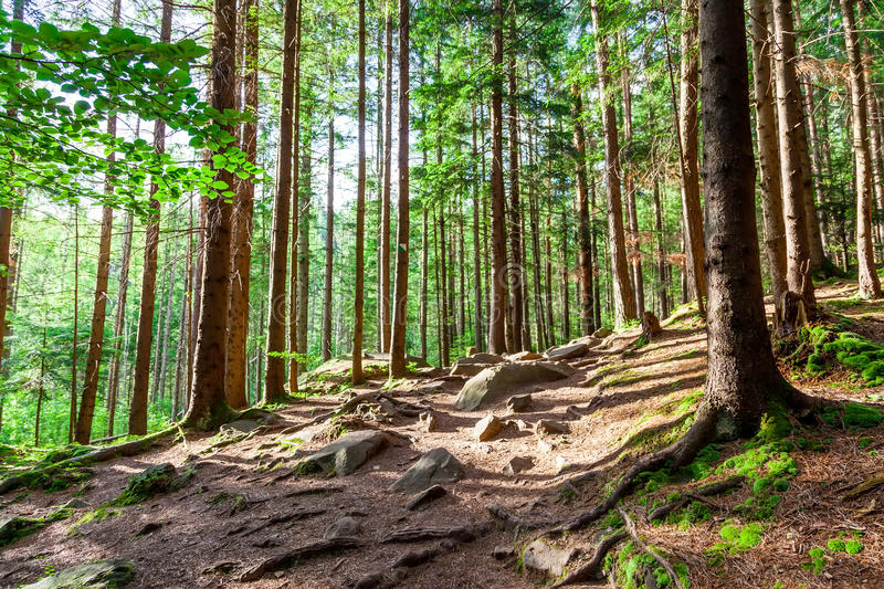 Pine forest. On a mountain slope in Carpathian Mountains stock images