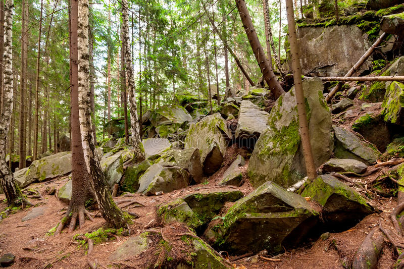 Pine forest. On a mountain slope in Carpathian Mountains royalty free stock photos