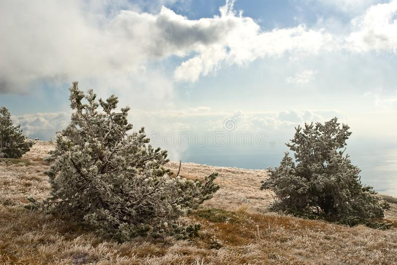 Pine forest in a mountains stock photography