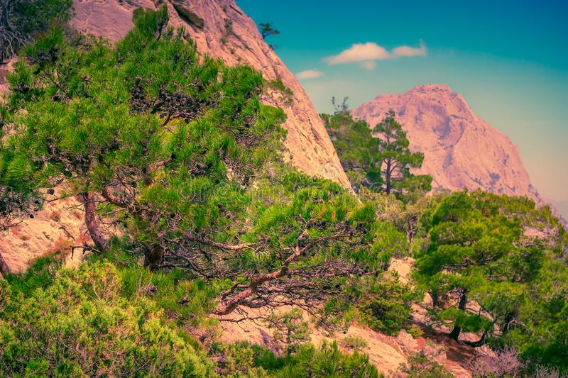 Pine forest in mountains. Scenic landscape stock photo