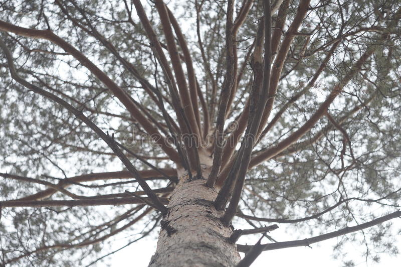 pine royalty free stock images