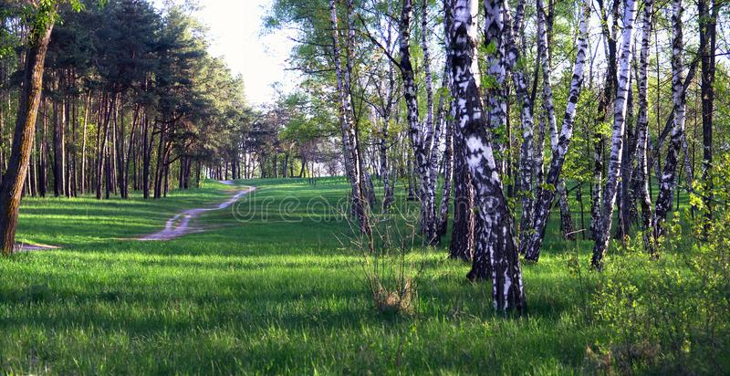 Pine forest opposite a birch grove. A narrow winding path passing through between a pine forest and a birch grove stock photography
