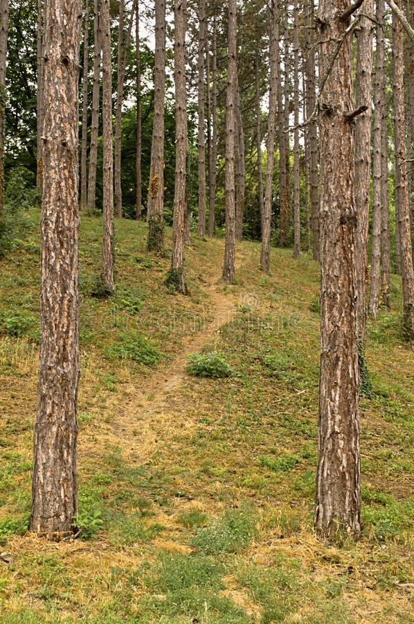 Pine forest path. Path through a pine forest royalty free stock images