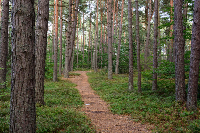 Pine forest. Path in the pine forest royalty free stock image