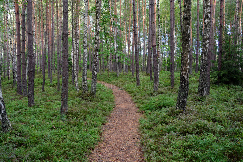 Pine forest. Path in the pine forest stock photography
