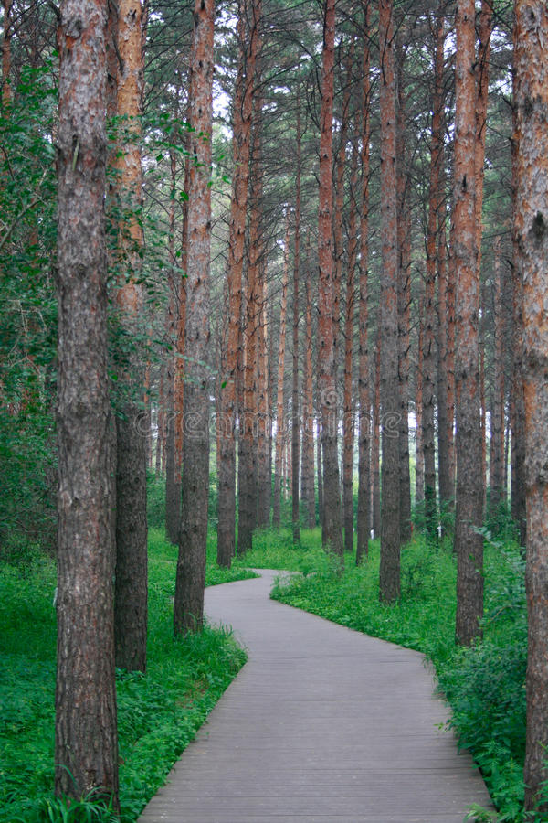 The pine forest path stock photos
