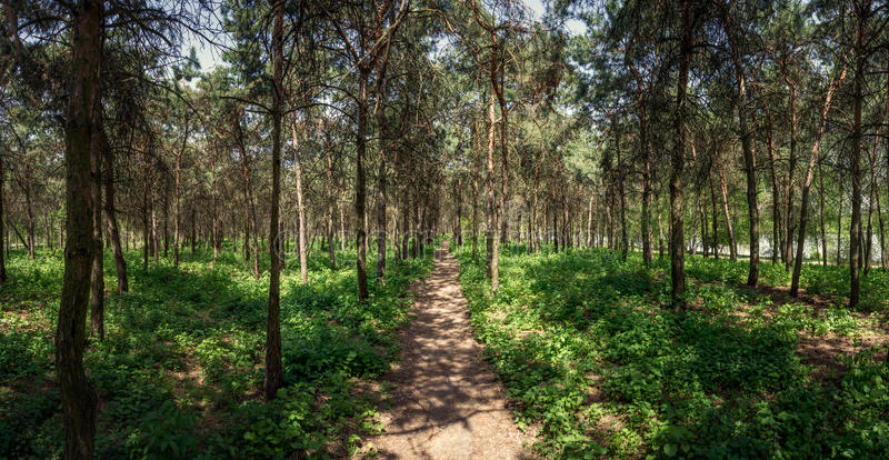 Pine forest. Path. Mirgorod. Resort. Panorama. Path in a pine forest, panorama stock image