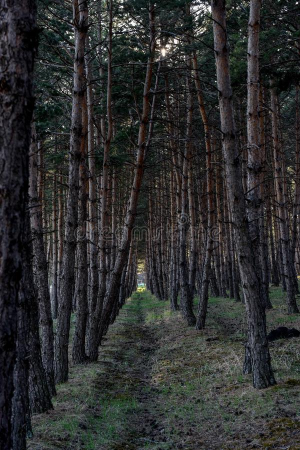 Pine forest path . natural . Pine forest path , Vertical Logs in a Forest stock photo