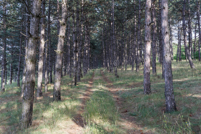 Pine forest and path. Photo stock photos