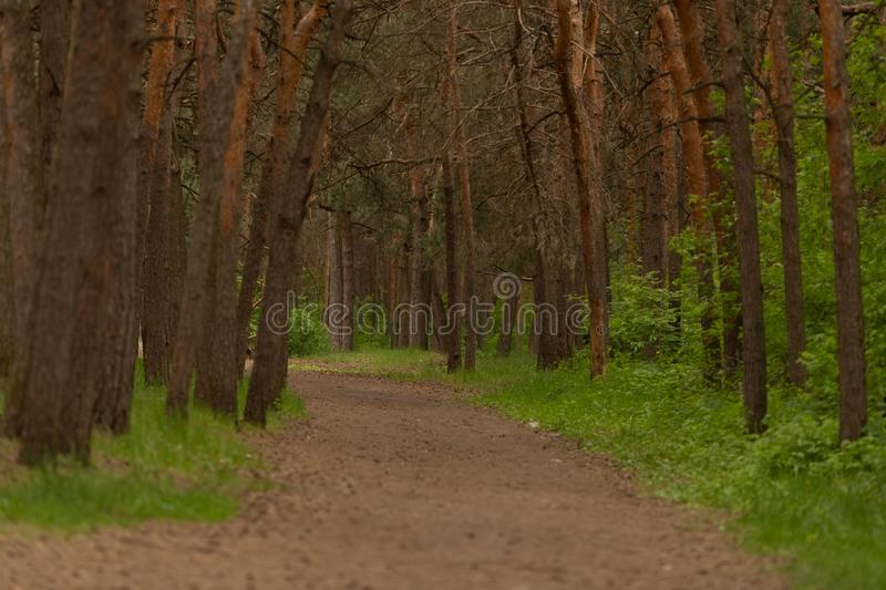 Pine forest path, summer time. Copy space. Space for text stock photo