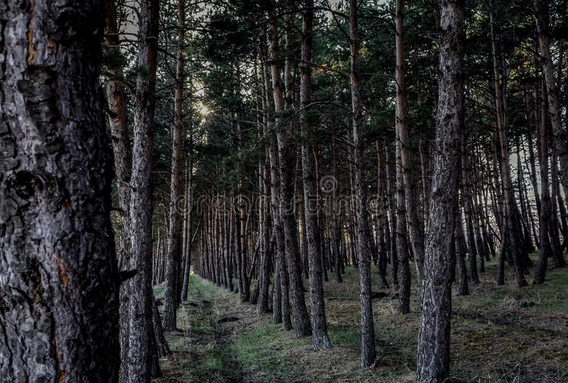 Pine forest path . natural . Pine forest path , Vertical Logs in a Forest royalty free stock images