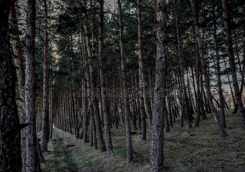 Pine forest path . natural . Pine forest path , Vertical Logs in a Forest stock photography