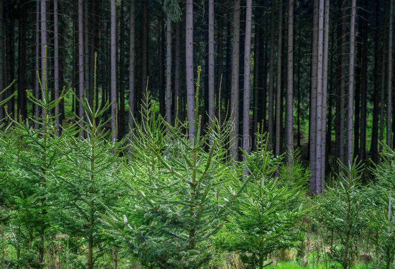 Pine forest plant nursery conifer stock photo