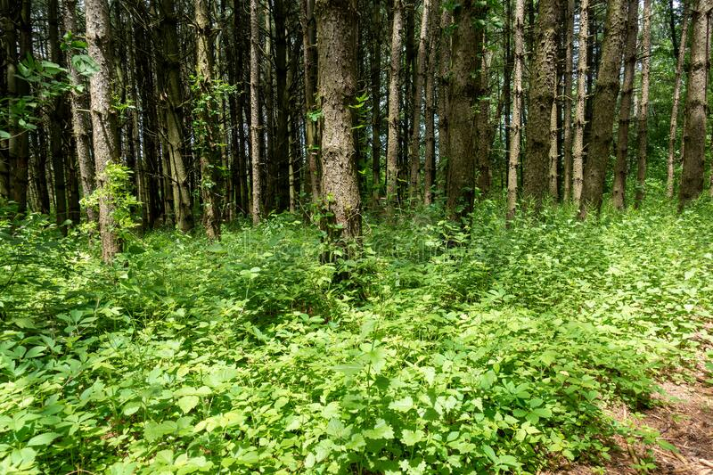 Pine Forest Planted In A Conservation Area Ontario Canada royalty free stock photo
