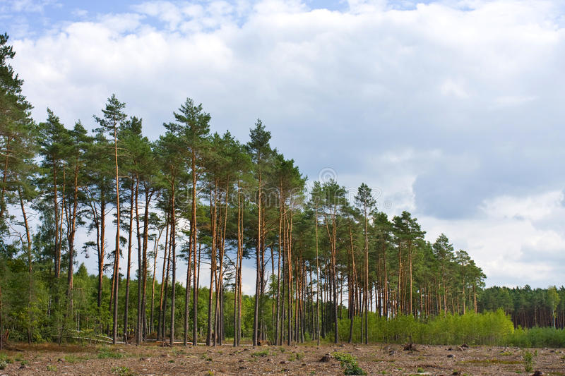Download Pine forest. Poland stock image. Image of growth, bark - 33695909