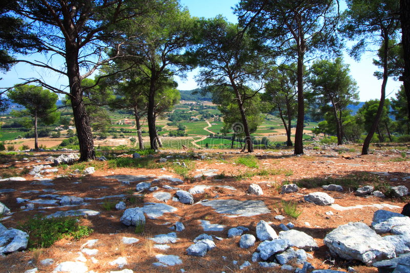 Pine forest of provence stock photography