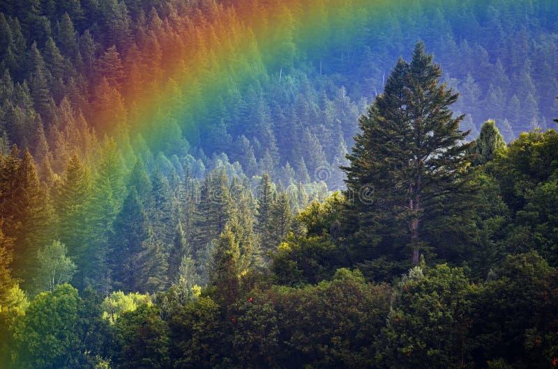 Pine Forest During Rainstorm Lush Trees Rainbow stock image