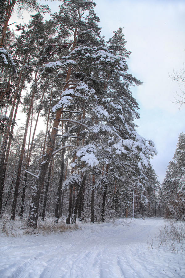 Pine forest with road in winter royalty free stock images