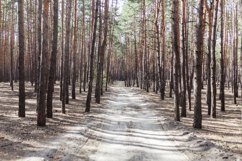 Pine forest rural road royalty free stock images