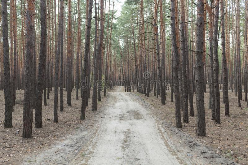Pine forest rural road stock images