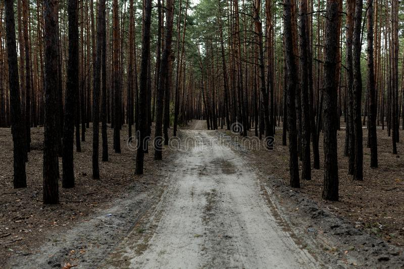 Pine forest rural road royalty free stock photography