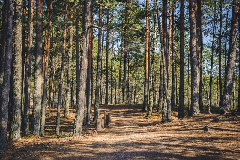 Pine forest scene. Path in a popular tourist destination Kemeri National park. Latvia stock image