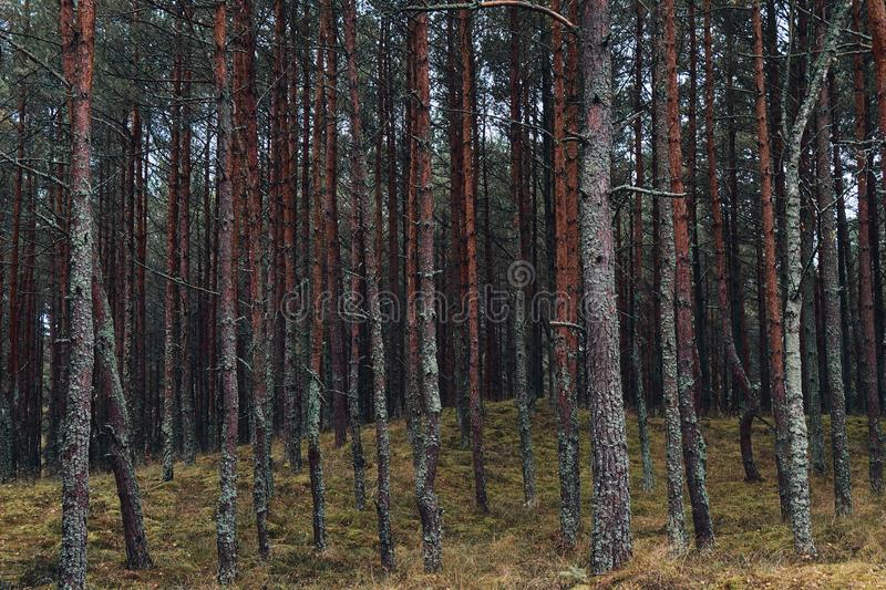 Pine Forest at Smiltyne, Lithuania stock photos