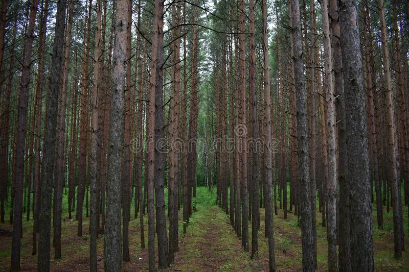 Pine forest a special plant community of pine crowns are relatively loose, openwork, they pass a lot of light. Therefore, there is no strong darkening in the stock photos