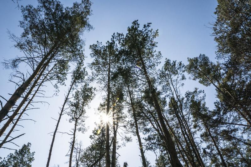 Pine forest in the spring morning stock photo