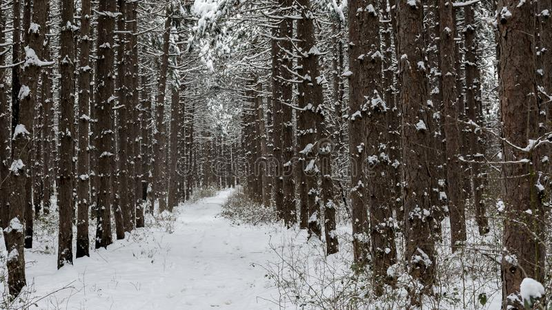 Winter pine forest stock image