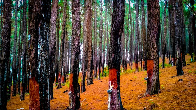 Pine forest in sri lanka royalty free stock photo