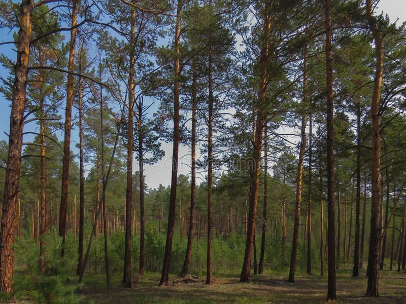 Pine forest on a summer day. Young and adult pine trees. Olkhon Island. Lake Baikal stock image