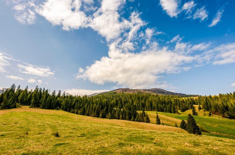 Pine forest in summer landscape stock images