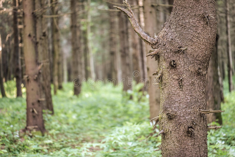 Download Pine Forest Stock Images - Image: 34244024